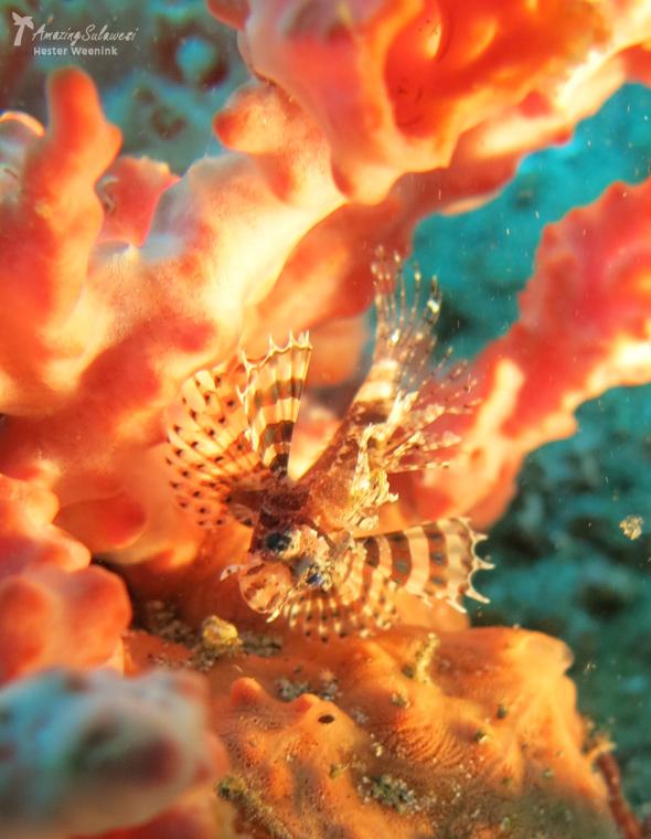 lembeh-island-sulawesi-indonesia-13